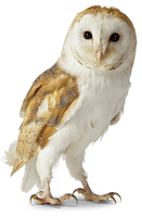 original image of Owl