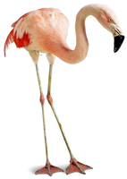 original image of Flamingo