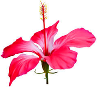 original image of Hibiscus