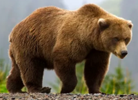 original image of Grizzly Bear