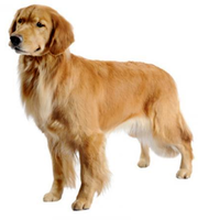 original image of Golden Retriever